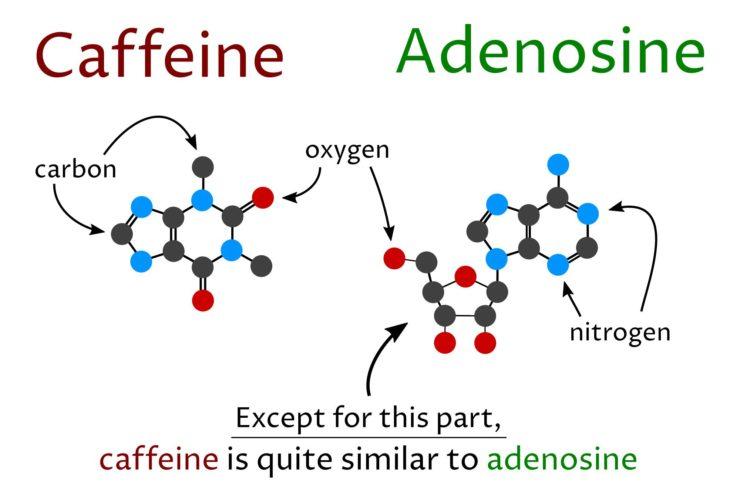 caffeine and adenosine molecular structure