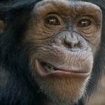 chimpanzees are a lot like humans, but with more chromosomes