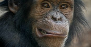 Chromosome fusion: Why humans have fewer chromosomes than chimps