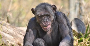 chimpanzees use tools like humans