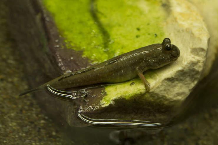 Pearse's mudskipper - a fish that has grown legs throug hevolution