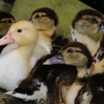 ducklings or goslings