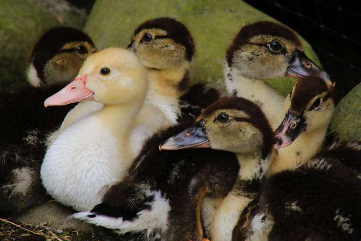 are these different species: ducklings or goslings