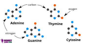 Nucleobases: Adenine, Guanine, Cytosine, Thyminevvvvvvv
