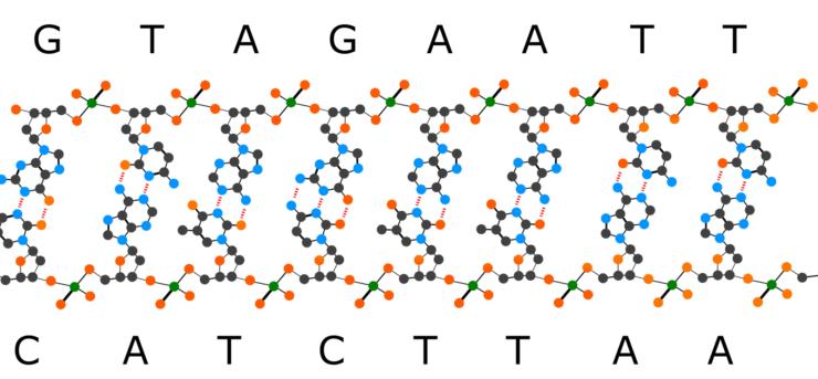nucleobases form double stranded DNA